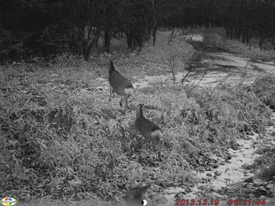 赤外線カメラでのエゾシカ撮影