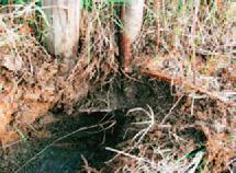 泥炭地に深植えされた防雪林-写真イメージ